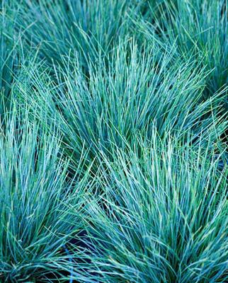 Festuca Glauca Intense blue