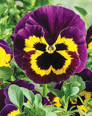Pot Pansy - Single Colours