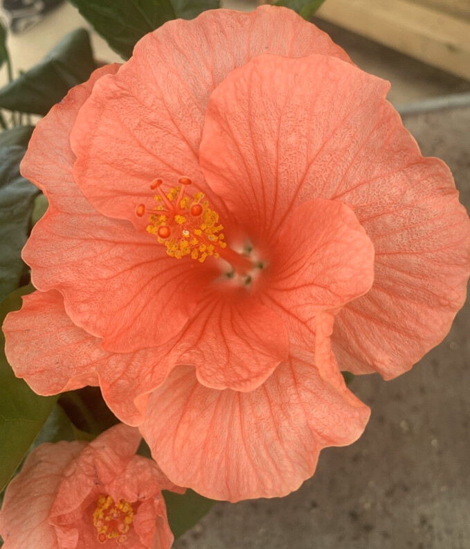 Hibiscus (Mixed Colours)