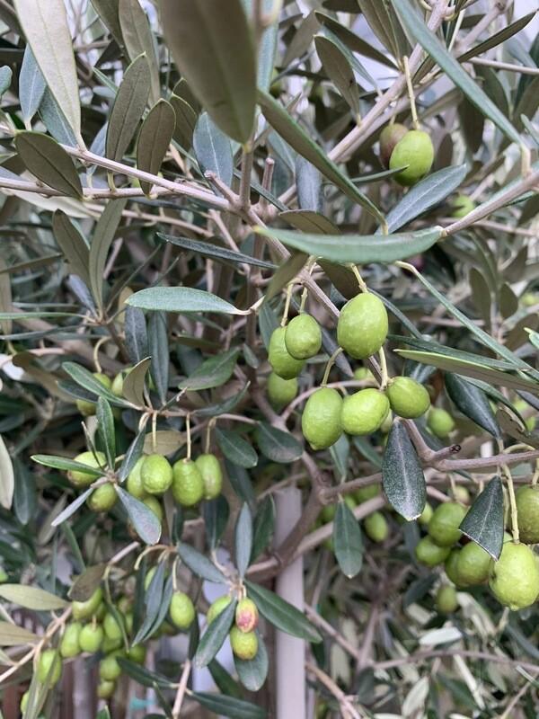 Olive Standard - Medium Size