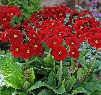 Polyanthus - mixed colours
