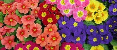 Primrose - Mixed colours