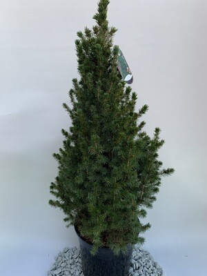 Picea Conica glauca (large)