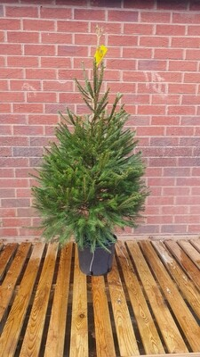 Pot Grown Spruce Christmas Tree