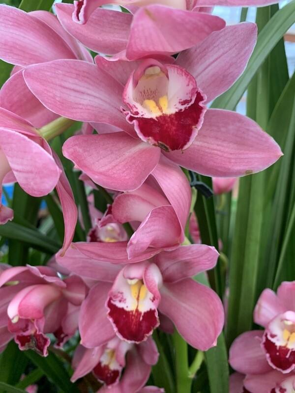 Cymbidium Orchid (large)