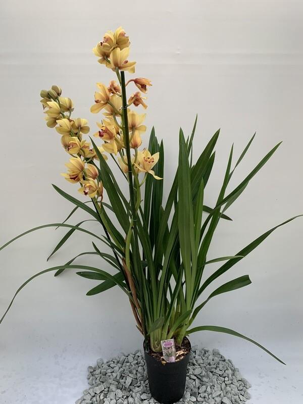 Cymbidium  Orchid  (medium)