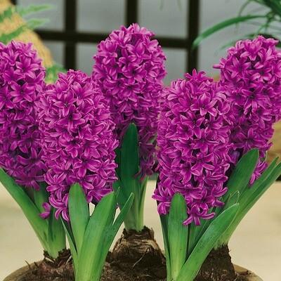 Hyacinth Miss Saigon - single pot