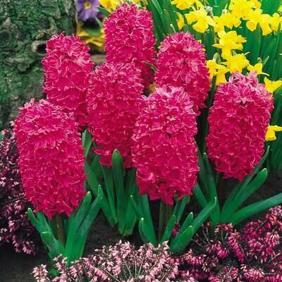Hyacinth Jan Bos - Triple Pot