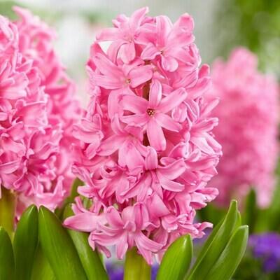 Hyacinth Pink Pearl - Triple pot