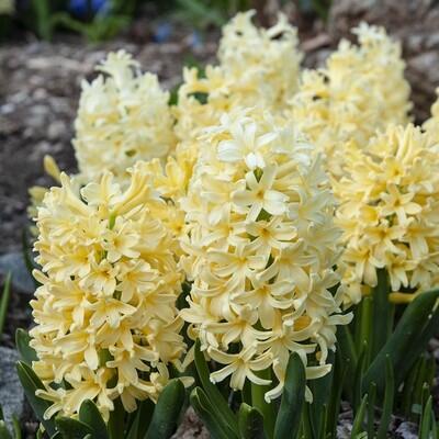 Hyacinth yellowstone - triple pot