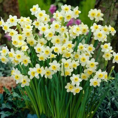 Narcissus Minnow
