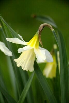 Narcissus W P Milner