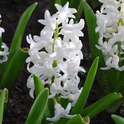 Hyacinth white (triple pot)