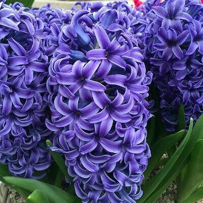 Hyacinth Blue Jacket - single pot