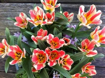 Tulip Czaar Peter