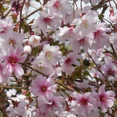 Standard Cherry Tree Prunus Inc. Kojou-no-mai