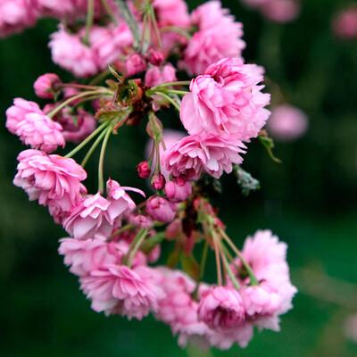 Standard Blossom Cherry