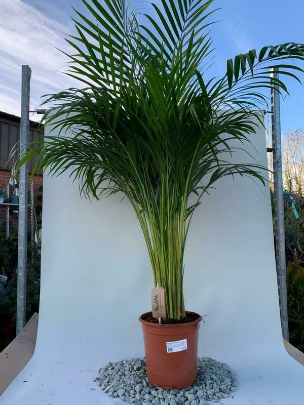 Areca Palm Dypsis lutescens