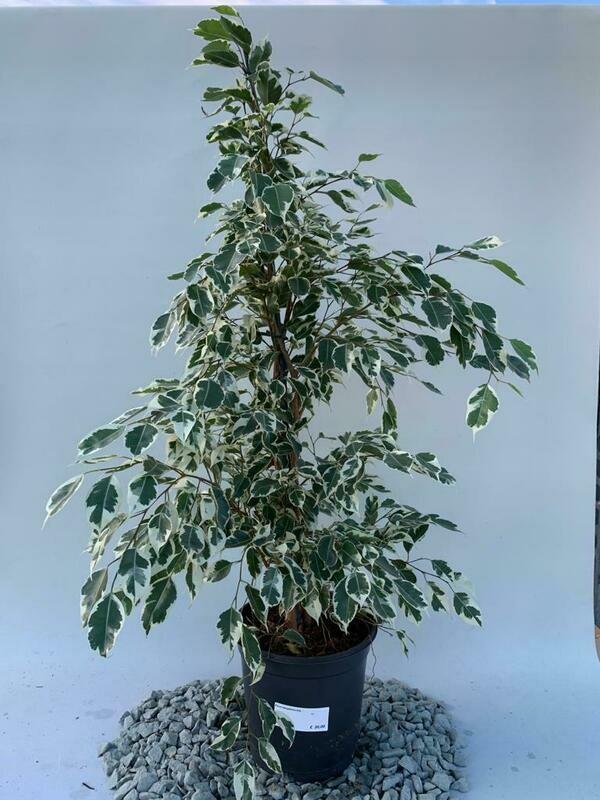 Ficus benjamina Large