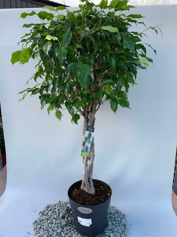 Ficus benjamina Twisted Standard