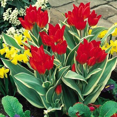 Tulip Praestons Fusilier Unicum