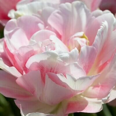 Tulip Finola