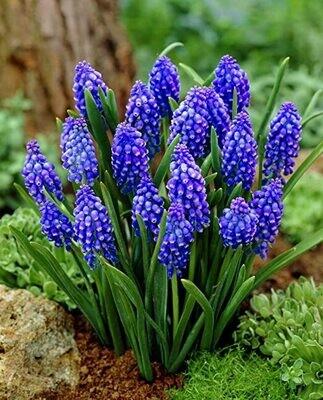 Muscari Armeniacum - Blue