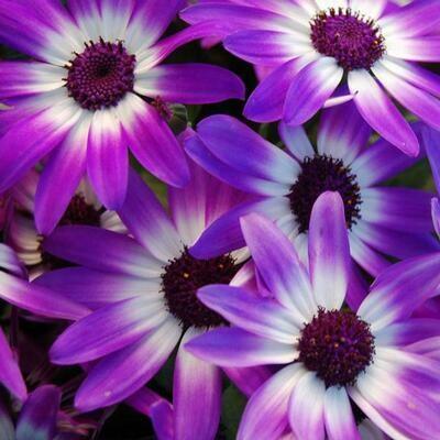 Senetti - Violet Bi Colour