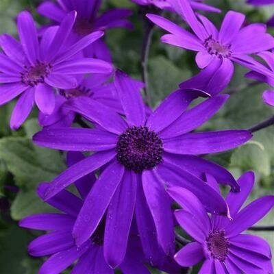 Senetti - Violet