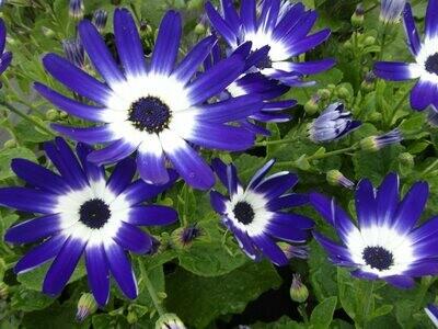 Senetti - Blue Bi Colour