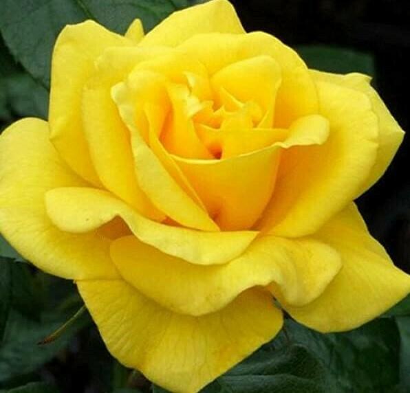 Golden Wedding Rose - 50th Wedding Anniversary