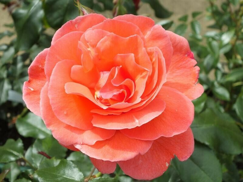 Happy Anniversary Rose
