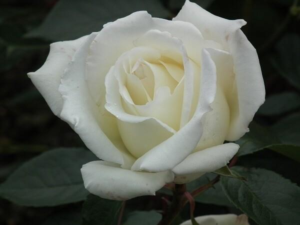 Silver Wedding Rose - 25 years