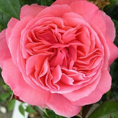 Special Anniversary Rose