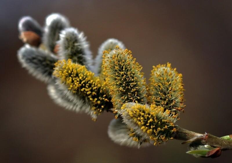 Salix Kilmarnock - Weeping Pussy Willow