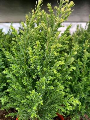 Conifers - small - 9cm