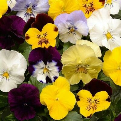 Pansy Cool Wave (Trailing Pansy) - 5 plants