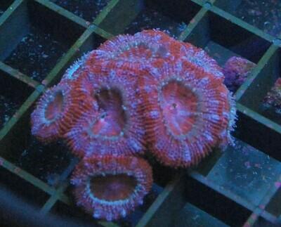 Mooie rood roze acan