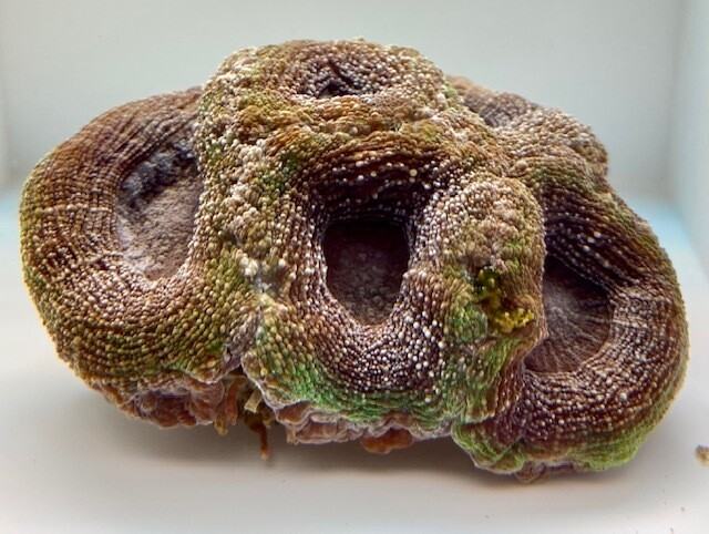 Bowerbanki paars groen