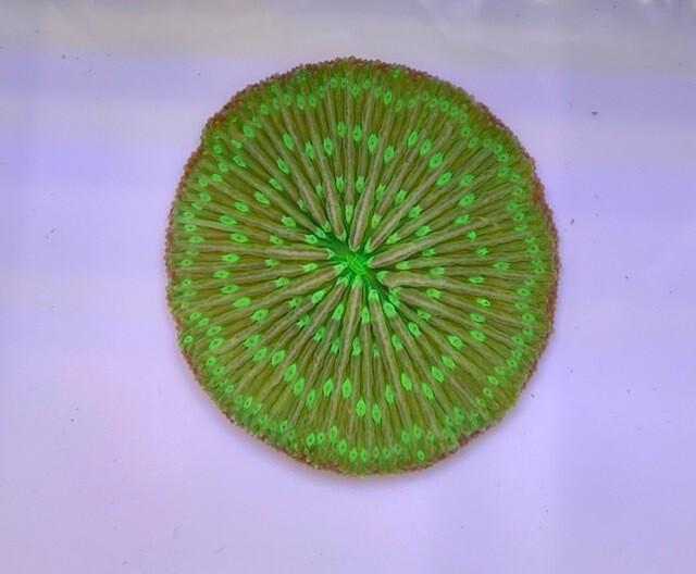 Fungia ultra green