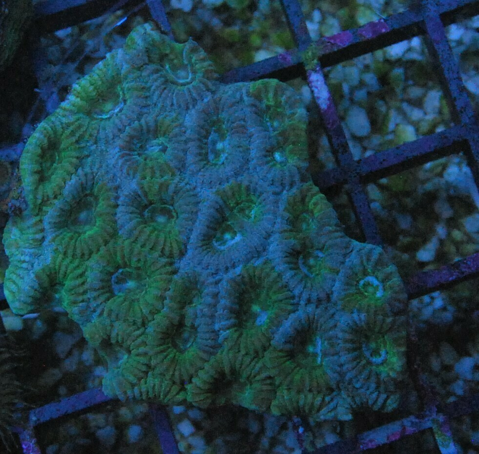 Favia Green blue