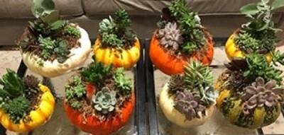 Succulent Pumpkin