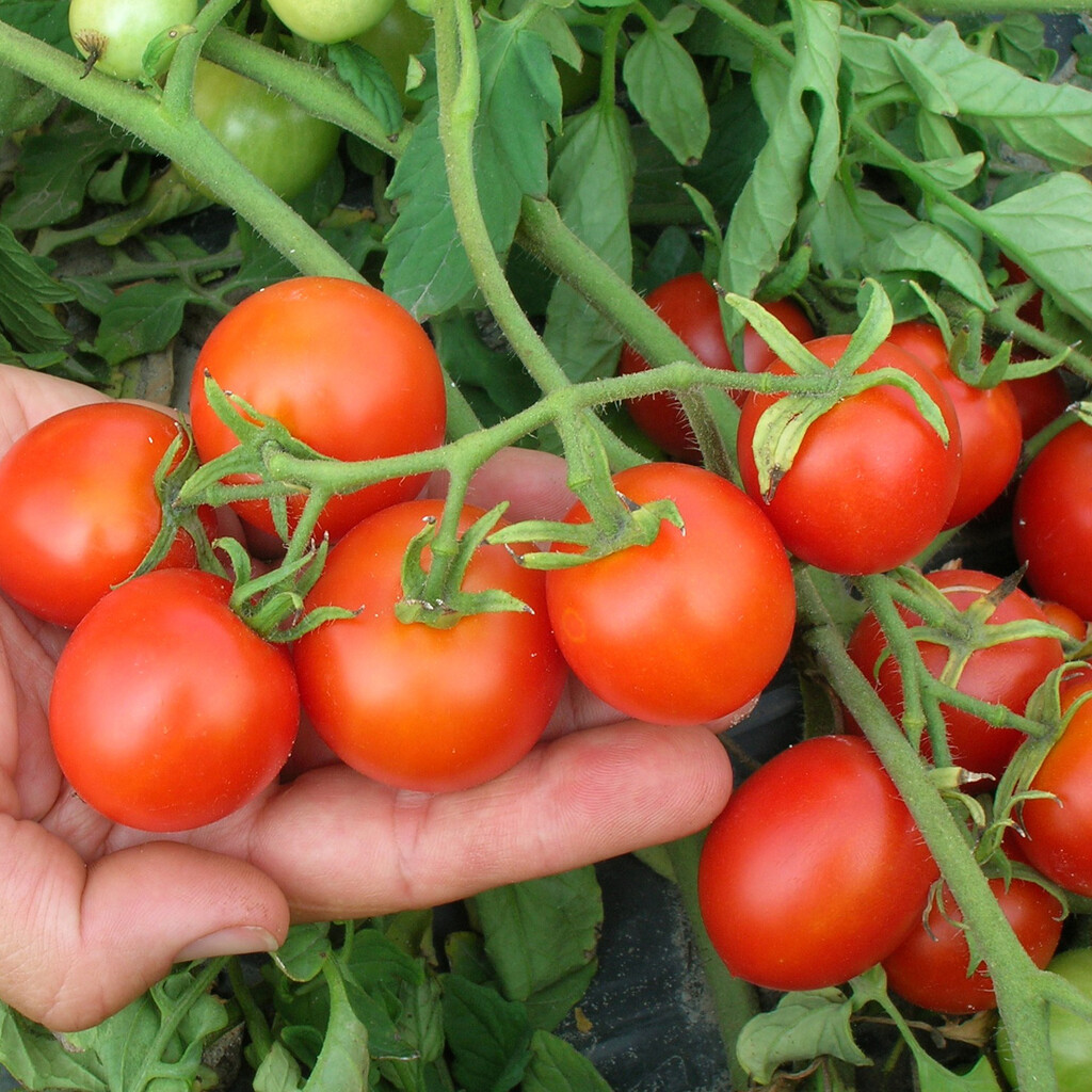 Sugar Gloss - Small-Fruited Tomato