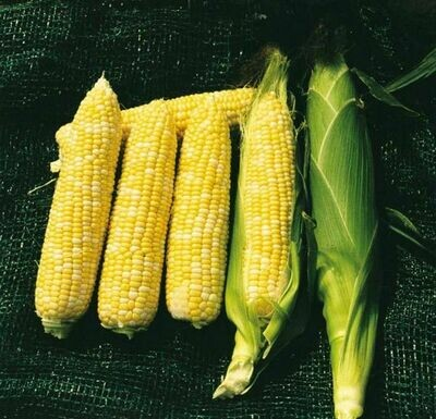 Gourmet Sweet Bi-Colour Corn - Hybrid