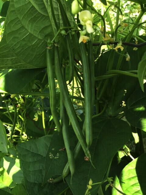 Seychelles Pole Bean -  Organic