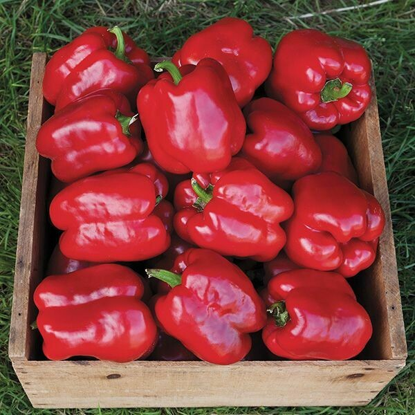 King of the North Pepper - Organic