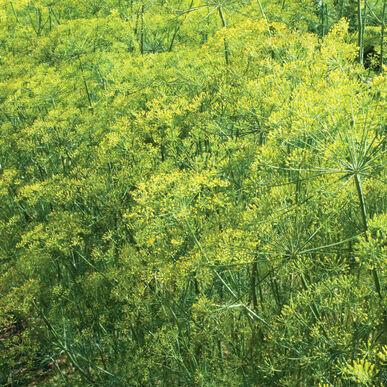 Bouquet Dill - Organic