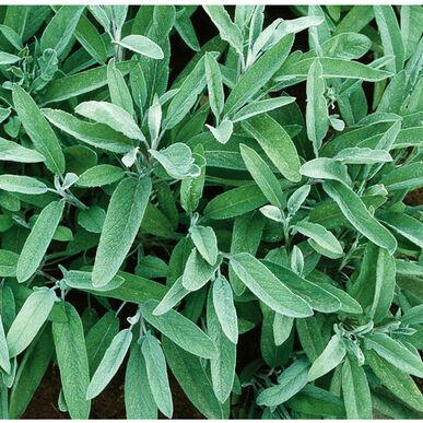 Common Sage - Organic