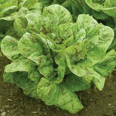 Flashy Trout Back Lettuce - Organic
