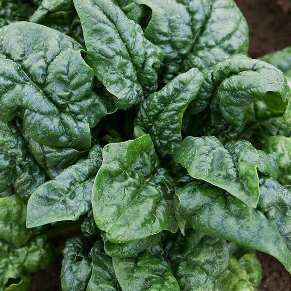 Abundant Bloomsdale Spinach - Organic